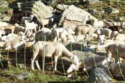 Sheep in fold on Mont Roig